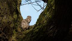 Pair of owls (stevehimages) Tags: steve steveh stevehimages wowzers warden west midlands 2017 grandpas den grandpasden nature owls birds walsall pair