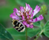 Bee-beetle (Timo Halonen) Tags: beetle kovakuoriainen kimalaiskuoriainen beebeetle coleoptera cetoniinae scarabaeidae scarabbeetle nikon dx fx d5200 nikkor 70300mm zoom