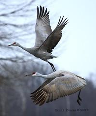"Sandhills in Flight (Scott ""Burns"" Evans) Tags: sandhill crane scott evans ewing bottoms jackson county indiana winter 2017 february avian bird photography nature"
