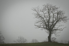 Oak tree in fog - Anderson Co. S.C. (DT's Photo Site - Anderson S.C.) Tags: canon 6d 70200mmf4lis lens andersonsc rural america fog oak tree rustic vintage landscape southernlife outdoor rainy weather