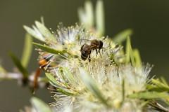 Bee (blachswan) Tags: winterswamp mullahwallahwetlands mullahwallah wetland wetlands ballarat victoria australia lucas potterwasp bee