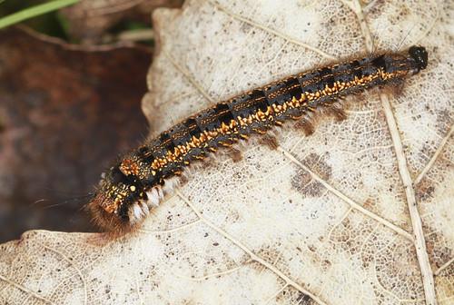 Dinker Moth Caterpillar