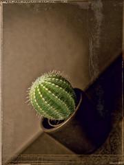 green cactus (Found outside on the balcony) (zdm69) Tags: kleiner grüner kaktus sepia schiefeebene nahaufnahme olympus omd em1 45mm surreal abstract abstrakt