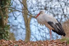 stork & bokeh (rondoudou87) Tags: stork cigogne bokeh pentax k1 nature natur parc zoo reynou wildlife wild sauvage smcpda300mmf40edifsdm profil profile dof da300