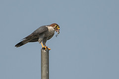 The red-necked falcon finishing of a bird... (Samyak (www.samyakkaninde.com)) Tags: india bird nature fauna wildlife leg pole falcon urbanwildlife maharashtra prey predator pune birdsofprey redneckedfalcon falcochicquera hadapsar