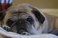 DSC_0144 (R. Wozniak) Tags: pug