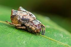 Crab orb weaver (Aspidolasius branicki) - DSC_4314 (nickybay) Tags: peru peruvianamazon amazon macro tambopata tambopataresearchcenter orb weaver spider aspidolasius araneidae branick branicki