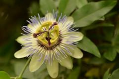 Passiflora (dave_poth) Tags: