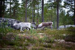 Femunden und Jmtland-545 (jo.hermann) Tags: nature norway landscape reindeer norge scenery schweden norwegen canoe mohawk sverige kanu rentier gatz paddeln femunden femund feragen