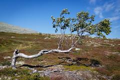 Bench (Robert Anders) Tags: summer tree norway hiking sommer skandinavien norwegen creativecommons erica scandinavia nor baum wandern heide fjell fjll femundsmarka ccby eos6d sigma35mmf14dghsm