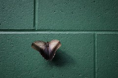 Green Wall & Butterfly (jpr_me) Tags: nature wall butterfly insect ma nikon butterflies cinderblock cementwall westford cinderblockwall thebutterflyplace blindphotographers 1855mmf3556gii d7000 industrialgreen