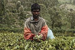 (augis baltas) Tags: tea haputale teapicker