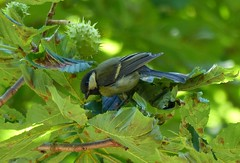 Great tit in a horse chestnut tree (Thrush-Nightingale) Tags: wood tree bird leaves fruit forest leaf branch tit great chestnut husk arbre oiseau fort horsechestnut bois inde feuille branche msange marronnier charbonnire bogue marronnierdinde