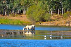 Armona / Harmony (Ferchu LApril) Tags: trees naturaleza lake nature birds animals landscape lago cow agua rboles wildlife birding aves pjaros verano animales fla aire vaca