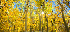 Gold and Blue (hazarika) Tags: california fallcolors blueskies sierras aspen sunstar canon1635mmf28liiusm canon5dmarkiii fall2015 mausamhazarikaphotography