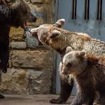 Brown bears thumbnail