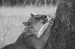 At The Scratching Post (AnyMotion) Tags: africa travel portrait blackandwhite bw tree nature animal animals female cat tanzania tiere reisen wildlife ngc natur lion portrt npc afrika sw katze lioness baum lwe scratchingpost kratzbaum tansania 2015 pantheraleo lwin serengetinationalpark anymotion 7d2 portraitaufnahmen canoneos7dmarkii