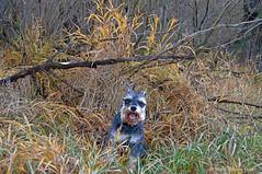 October Happiness (Pep's Hiking Team) Tags: autumn nikon hiking happiness schnauzer northdakota 2015 traildog d3200 adventuresniffer