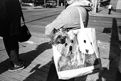 Just bought a dog at BabiesRUs (christait) Tags: street dog canada calgary bag downtown grain alberta yyc ilforddelta3200 pursedog yycstreet