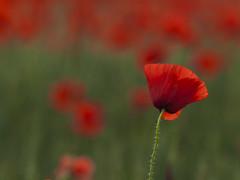 Pour les victimes ...  pour Paris **--- °° (Titole) Tags: paris bokeh poppy poppies tribute shallowdof victimes explored friendlychallenges herowinner titole nicolefaton