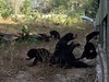 Sun bears (Animal People Forum) Tags: bear rescue sun project indonesia wildlife palm borneo oil rehabilitation palmoil sunbear wildliferehabilitation samboja lestari