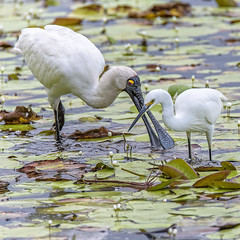 togetherness (royal spoonbill and little egret) (Fat Burns ☮) Tags: birds lagoon bribieisland egret waders waterbirds spoonbill littleegret royalspoonbill buckleyshole nikond750 sigma150600mmf563dgoshsmsports sigmateleconvtc1401nik