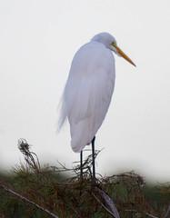 20151121-_74P0040.jpg (Lake Worth) Tags: bird nature birds animal animals canon wings florida wildlife feathers wetlands everglades waterbirds southflorida xextender sigma120300f28dgoshsmsports