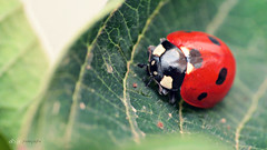 Ladybug, Mariquita, Joaninha, Ladybird, Catarinas... (Alberto Jiménez Rey) Tags: alberto manuel rey ladybird ladybug lucia joaninha mariquita jimenez catarinas albr albjr7 alylu naturenaturalezainsectosrojorednegroblackpuntoslunarespequeñomacrohojaverdegreenpequeñosmall