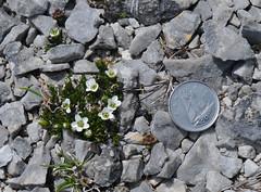 Arenaria humifusa (Todd Boland) Tags: flowers newfoundland sandwort arenaria caryophyllaceae newfoundlandwildflowers