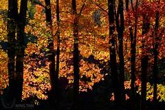 Backlighting (Wing Tam Photography) Tags: autumn sunlight fall newjersey fallcolor fallfoliage backlighting fallcolour schooleysmountainpark