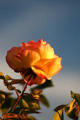 Sunset rose (Rebecca_bexxi) Tags: natur freiburg reben fototour markgrflerland istein weinlandschaft