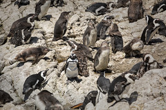 Pedestrian Crosswalk (chasingthelight10) Tags: africa travel southafrica photography penguins wildlife events places things westcape boulderbay