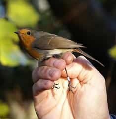 """I got tagged!"" (Jaedde & Sis) Tags: robin hand tagging rdklk rdhals unanimous birdtagging challengefactorywinner thechallengefactory ringmrkning"