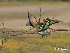 Abejarucos 30 (jimenezcuestapepe) Tags: fauna sevilla aves abejaruco andalucia espana localizacion morondelafrontera