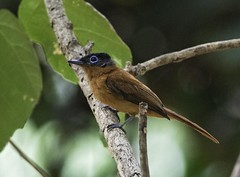 Madagascar Paradise Flycatcher - Mayotte (Ken Behrens) Tags: africa france nature islands wildlife birding indianocean naturalhistory comoros mayotte endemism indianoceanislands endemics tropicalbirding kenbehrens lescomores
