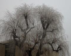 Weiden-Lametta (fotoculus) Tags: deutschlandalemaniagermanyduitslandalemanhagermaniaallemagnetyskland hessen rödermark rheinmaingebiet urberach winter bäume trees arbol weide trauerweide