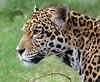 Maya in Profile (greekgal.esm) Tags: jaguar bigcat cat feline animal mammal carnivore maya rainforestoftheamericas losangeleszoo lazoo losangeles griffithpark california sony rx10m3