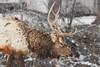 Bull Elk - Snow (BernieErnieJr) Tags: morrison colorado coloradowildlife wildlife sony70400mmg2 sonya77mkii frontrange greatphotographers teamsony rockymountains snow snowy winter bull elk bullelk