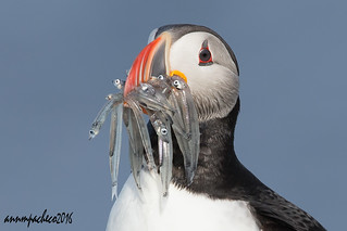 puffin moustache