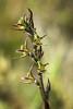 prasophyllum sphacelatum (Kezfoto) Tags: nativeorchid orchid tasmania prasophyllum prasophyllumsphacelatum centralhighlands leekorchid