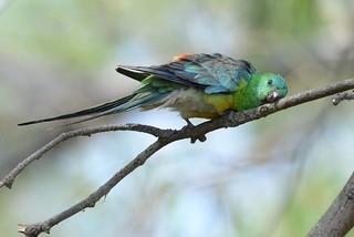 Red-rumped Parrot_1487E Psephotus haematonotus