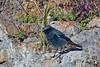 Black Redstart (Phoenicurus ochruros) (steveraduns_ebird) Tags: bird birds theforum rome roma italy male black redstart blackredstart lazio nikon p900 phoenicurusochruros