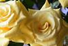 DSC_4211 Roses (PeaTJay) Tags: nikond750 reading lowerearley berkshire macro micro closeups gardens indoors nature flora fauna plants flowers bouquetofroses rose roses rosebuds
