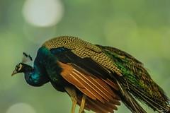 Silent Wanderer (traptiantiwary) Tags: bird birdphotography peacock nature canondslr