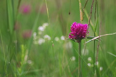 Kleeblüte (g e g e n l i c h t) Tags: klee blüte pflanze wiese natur summicronr2050mm lumixgx7 mft