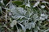 Curly wurly (monty689) Tags: frost weed leaf frill wavy green frozen winter