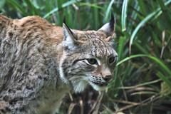 Eurasian lynx (Lynx lynx) (7) (Geckoo76) Tags: eurasianlynx lynx lynxlynx