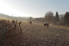 Surrey Hills Farm (Adam Swaine) Tags: cattle animals surrey surreyhills winter farming farms england english englishlandscapes frost sunlight counties countryside rural britain british longhorn hedges hedgerows fields livestock canon ukcounties pastures