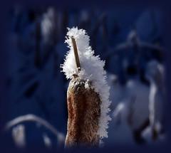 FROSTY WINTER AIR (Aspenbreeze) Tags: bullrush cattail frostoncattail cattails winter frost nature rural outdoors mountains colorado frosty hoarfrost bevzuerlein aspenbreeze moonandbackphotography