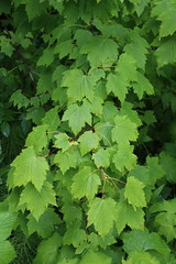 Acer glabrum-04 (The Tree Library (TreeLib.ca)) Tags: douglasmaple acerglabrum